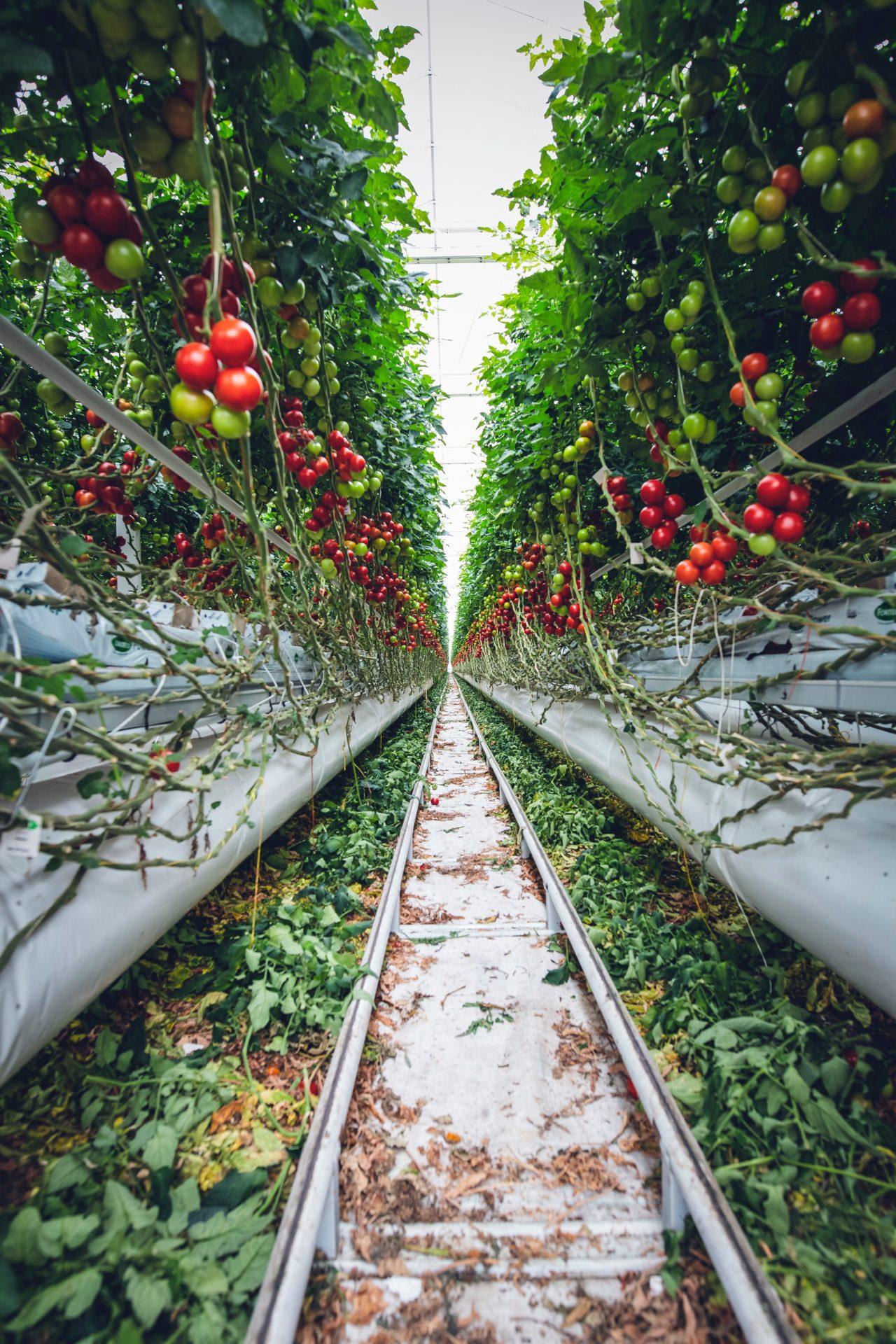 vertical tomato farm